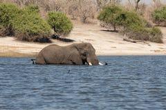 fiume maschio del chobe dell'incrocio dell'elefante Immagine Stock Libera da Diritti