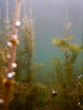 Fiumi d'acqua dolce subacquei della flora di luce solare, laghi, stagno Surfac Fotografie Stock Libere da Diritti