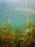 Fiumi d'acqua dolce subacquei della flora di luce solare, laghi, stagno Surfac Immagini Stock Libere da Diritti