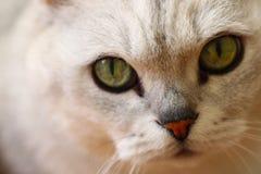 Fiuti la foto del primo piano con gli occhi del gatto d'argento di colore Fotografia Stock