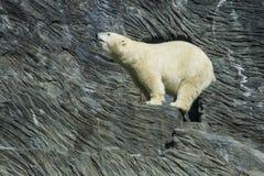 Fiuto dell'orso Fotografie Stock Libere da Diritti
