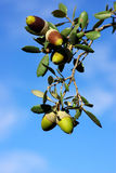 Five acorns Royalty Free Stock Images