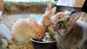 Five adorable fluffy bunny rabbits eating out of silver bowl at the county fair