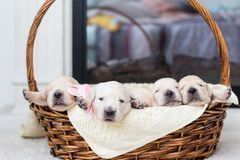 Five Adorable Golden Retriever puppies in a wicker basket royalty free stock images