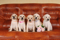 Five adorable labrador puppies Stock Photos
