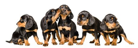 Five adorable puppies together. Isolated on white background stock images