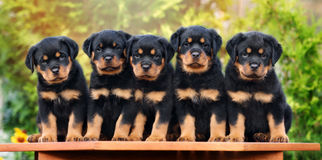 Five adorable rottweiler puppies. Group of rottweiler puppies outdoors in summer Royalty Free Stock Image