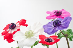 Five anemone flowers Stock Photos