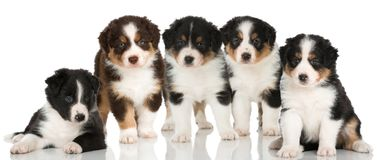 Five australian shepherd puppies. Side by side on white background stock photo