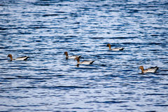 Five Australian wood ducks swimming in Lake Jindabyne. 's gentle water Stock Images