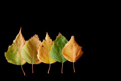 Five Autumn Birch leafs on Black Royalty Free Stock Photo