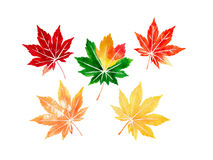 Five autumn colored japanese maple leaves. Set watercolor Stock Images