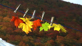 Five autumn maple leaves stock video