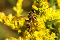 Five-Banded Wasp Stock Photography