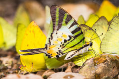 Five-bar swordtail butterfly Stock Images