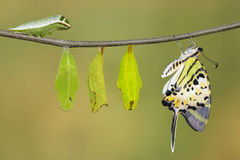 Five bar swordtail butterfly life cycle (antiphates pom. Pilius) on twig with clipping path stock images