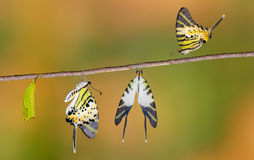 Five bar swordtail butterfly life cycle. (antiphates pompilius stock photo