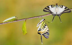Five bar swordtail butterfly life cycle stock images