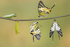 Five bar swordtail butterfly life cycle (antiphates pompilius). On twig stock image