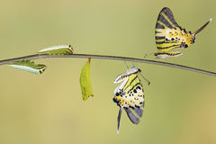 Five bar swordtail butterfly life cycle (antiphates pompilius). On twig royalty free stock photos