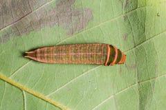 Five-bar Swordtail caterpillar Royalty Free Stock Photos