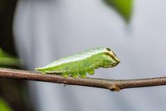 Five-bar Swordtail caterpillar Royalty Free Stock Photo