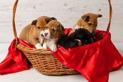 Five basenji puppies in basket with red fabric royalty free stock photos