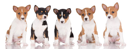 Five basenji puppies sitting in a row Stock Images