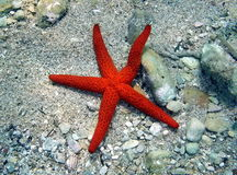 Five beam red sea star Stock Image