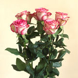 Five beautiful pink rose over beige background Royalty Free Stock Image