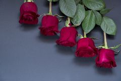 Five beautiful red roses on a pure white background with space for text royalty free stock photos