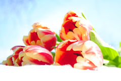 Five beautiful tulips on snow. Five beautiful red tulips on white snow Royalty Free Stock Photos