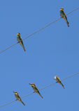 Five bee-eaters. Perched on electric wires stock photos