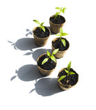 Five Bell Pepper Seedlings Royalty Free Stock Photography