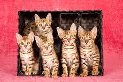 Five Bengal kittens sitting inside a black container. Five Bengal kittens sitting inside black container box on bright pink background Stock Photography