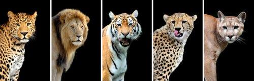 Five big wild cats Stock Photos