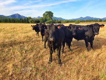 Five black cows in fight formation staring intensely Royalty Free Stock Photos