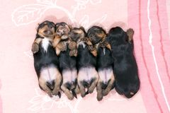 Five black puppies sleeping royalty free stock image