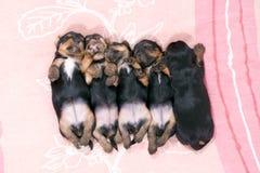 Five black puppies sleeping. On pink mattress Royalty Free Stock Image