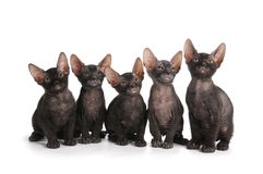 Five black sphinx kittens sit isolated on white Royalty Free Stock Photography
