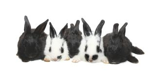Five black&white baby rabbits Royalty Free Stock Photography