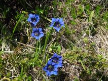 Five blue flowers in the French Alps stock photos