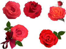Five bright red rose blooms on white Stock Photo