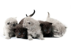 Five british kittens Royalty Free Stock Photography