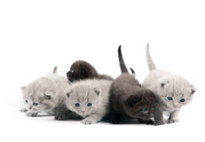 Five british kittens Stock Images