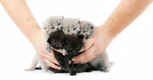 Five british kittens Royalty Free Stock Photos
