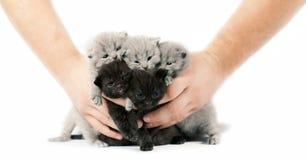 Five british kittens Royalty Free Stock Photos