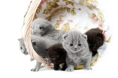 Five british kittens in a wicker basket Stock Photo