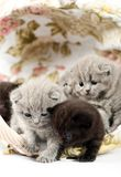 Five british kittens in a wicker basket Royalty Free Stock Photography