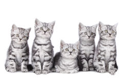 Five british short hair kitten Royalty Free Stock Photo